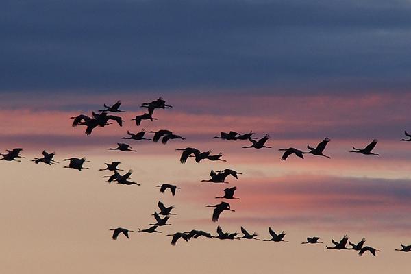 Vol de grues au soleil couchant