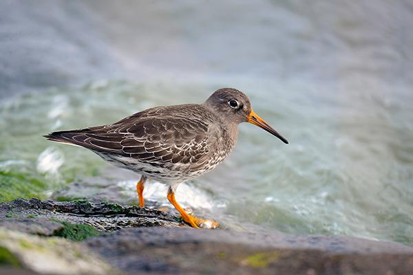 oiseaux migrateurs Lac du Der