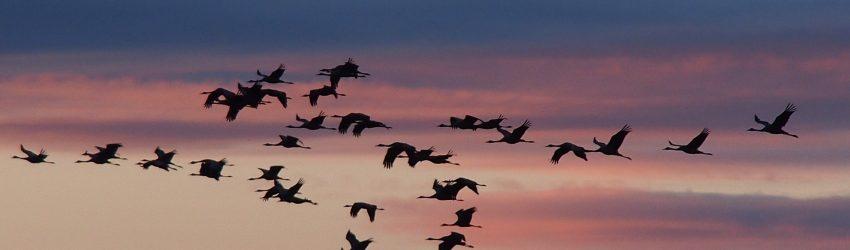 Lac du Der : La migration des Grues cendrées
